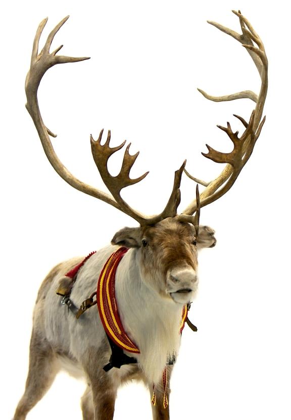 Real reindeer antlers - photo#7